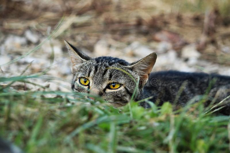 Cat prepare for hunt stock photography