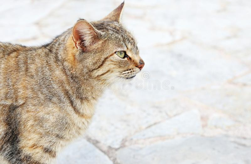 Cat profile with green eyes - grey cat sitting on the pavement royalty free stock image