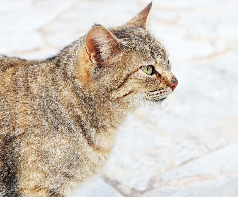 Cat profile with green eyes - grey cat sitting on the pavement royalty free stock images