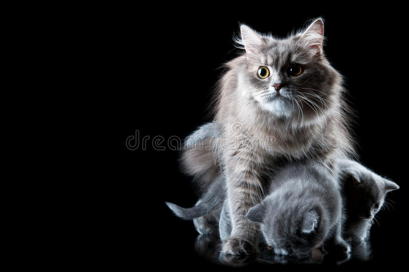 Download Cat protect kittens stock photo. Image of gray, curious - 24428692