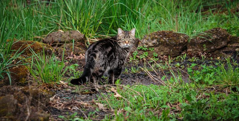 Cat on the Prowl in the Yard stock images