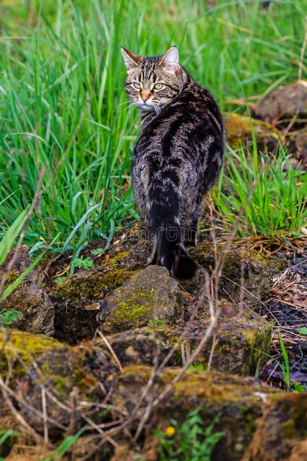 Cat on the Prowl in the Yard stock image