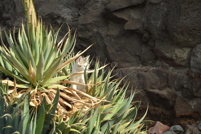 Cat Puppy Among The Aloe bonita Vera Plants On The Beach de Tazacorte Curso, natureza, férias, animais 11 de julho de 2015 Tazaco fotografia de stock royalty free