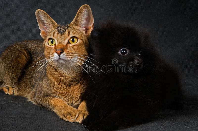 Cat and the puppy of the spitz-dog. In studio stock photography