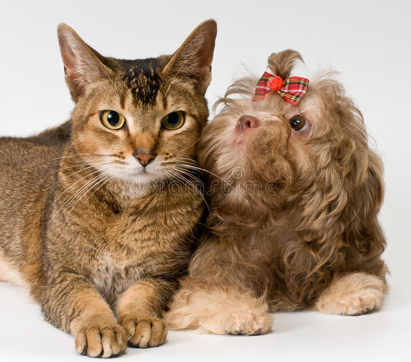 Download Cat and puppy in studio stock image. Image of pedigreed - 25589451