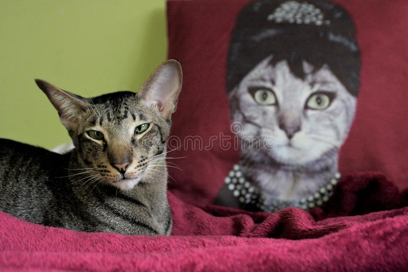 A cat and the queen. Domestic cat and the pillow with queen royalty free stock image