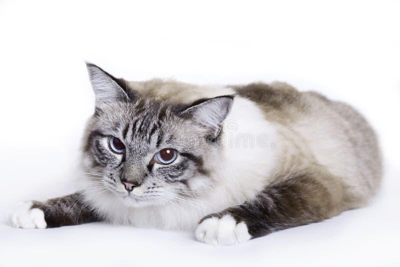 Cat, Ragdoll. Cat on white background, Ragdoll royalty free stock photo