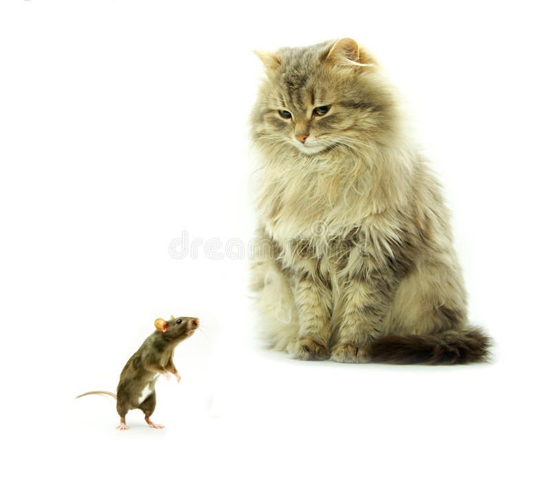 Download Cat and rat stock photo. Image of fluffy, studio, standing - 10415140