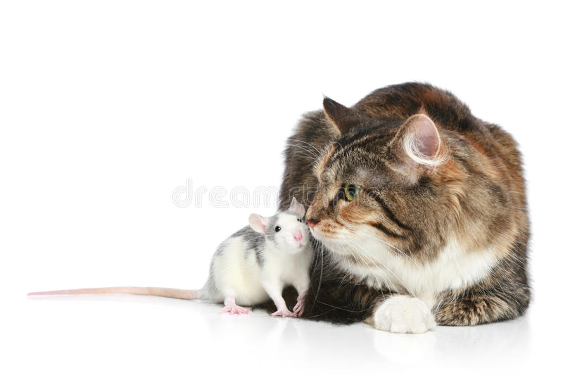 Download Cat and rats resting stock image. Image of mouse, rodent - 21419087