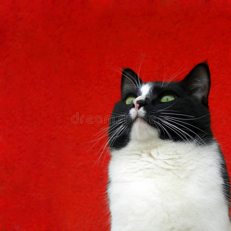 Download Cat on red stock image. Image of hair, portrait, space - 6139505