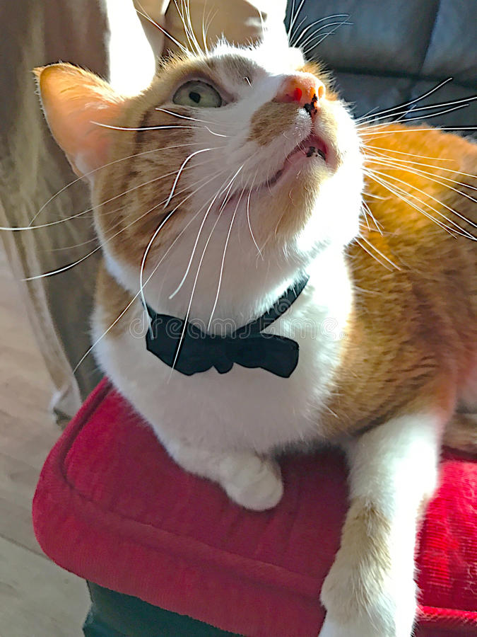 Cat on red cushion with bow tie stock image