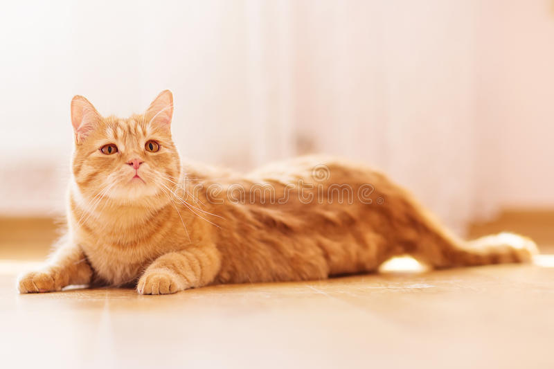Cat with red fur. At home stock photos