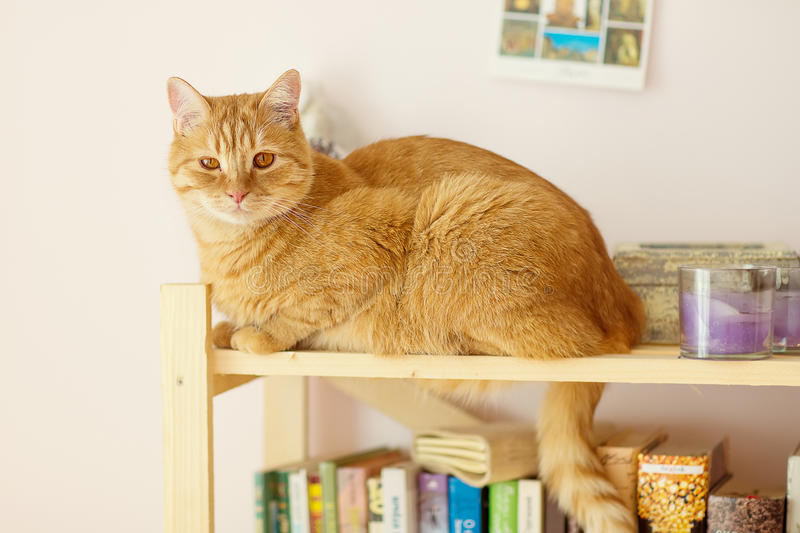 Cat with red fur. At home royalty free stock image