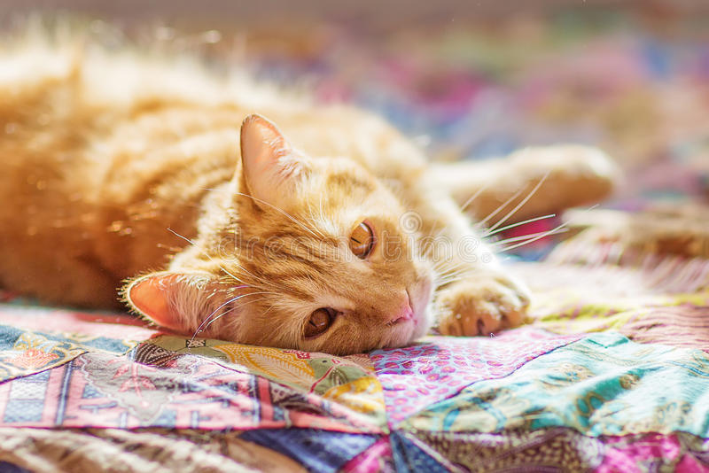 Cat with red fur. At home stock images