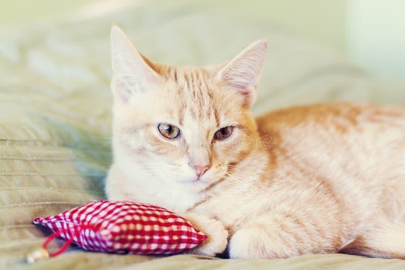 Cat With Red Pillow imagen de archivo libre de regalías