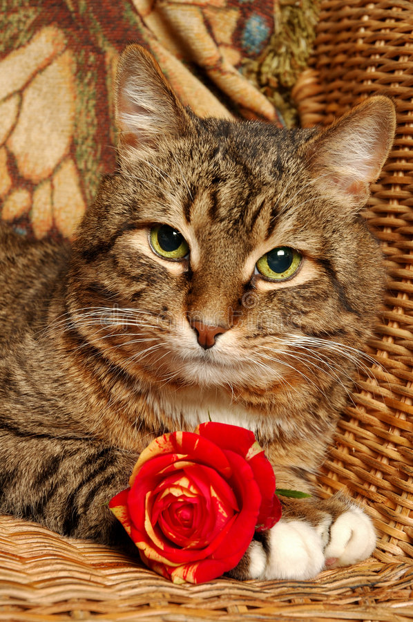 Download Cat with red rose stock image. Image of feline, stripy - 491047