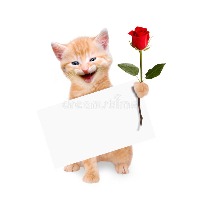 Cat with red rose and banner isolated. On white background royalty free stock images