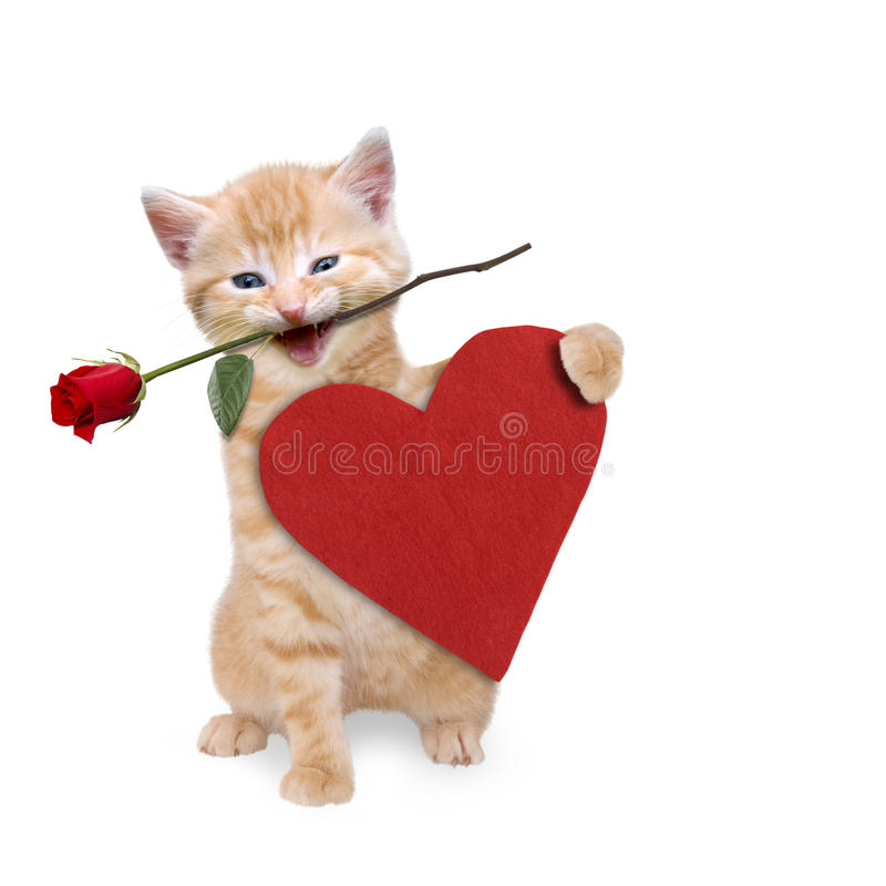 Cat with a red rose and red heart. On white background stock photography
