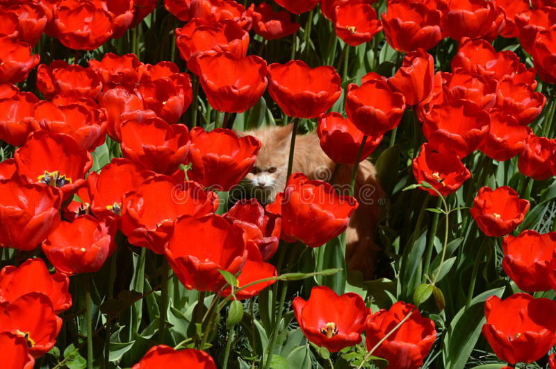A cat among Red tulips royalty free stock images