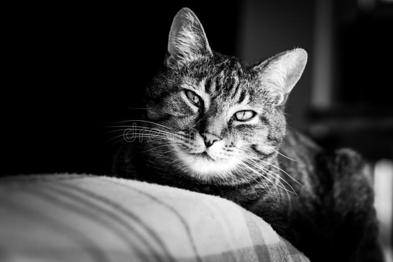 Cat relaxing on the sofa. This cat is really chillin his life on the Sofa. Black and White stock photography
