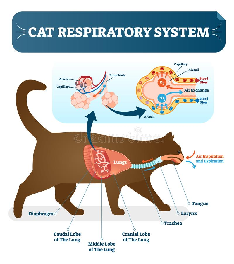 Cat respiratory system, vet anatomy vector illustration poster with lungs and capillary diagram scheme. royalty free illustration