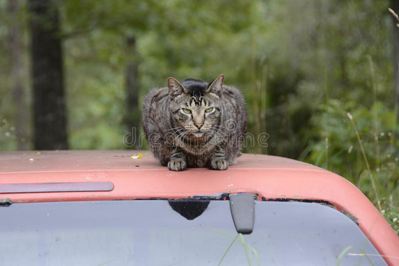 Cat Resting on Truck Top in Missouri arkivbild