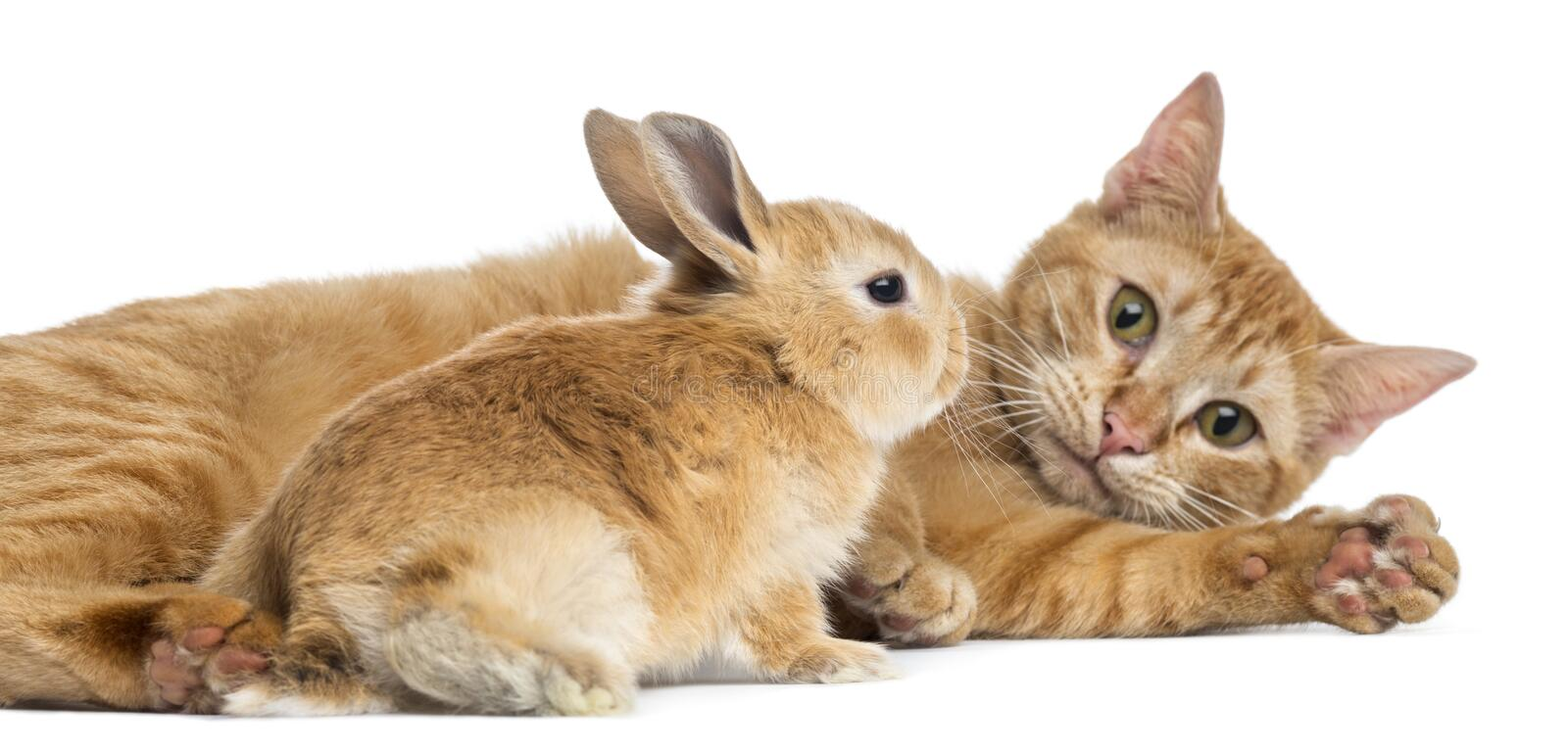 Cat and Rex dwarf rabbit, isolated. On white royalty free stock photography