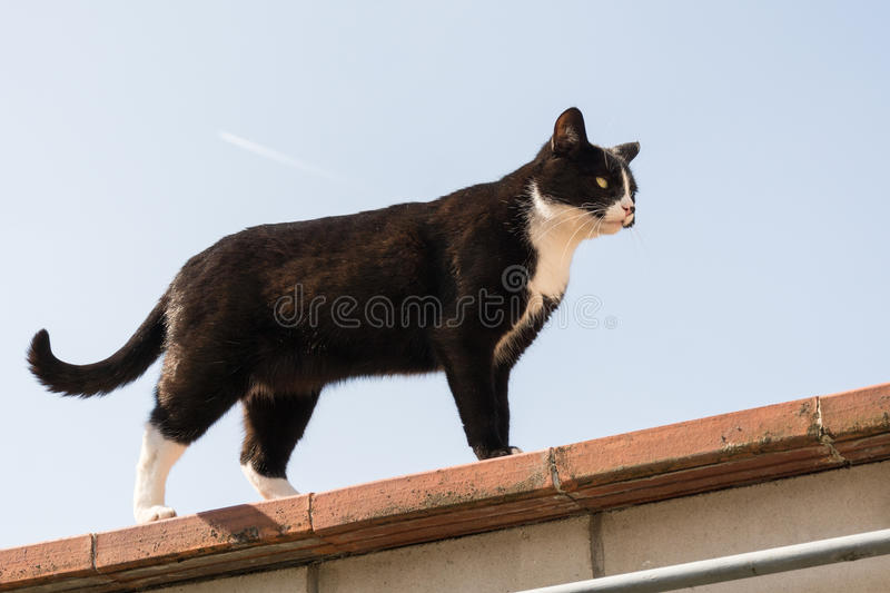 Download Cat on roof stock image. Image of white, animal, standing - 73928417