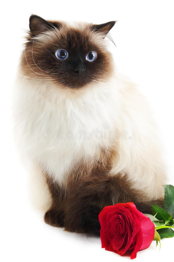 Cat with rose. Isolated on white stock photo