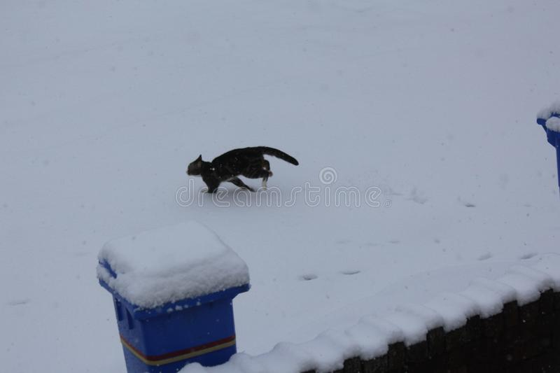 Cat Running Across the Snow. The cat was running across the snow to reach its house. The feet would be very cold royalty free stock photography