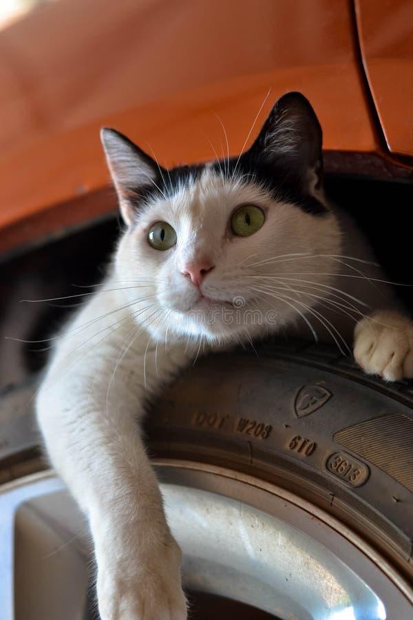 CAT S'ÉTENDANT SUR LE PNEU SOUS LA VOITURE photos libres de droits