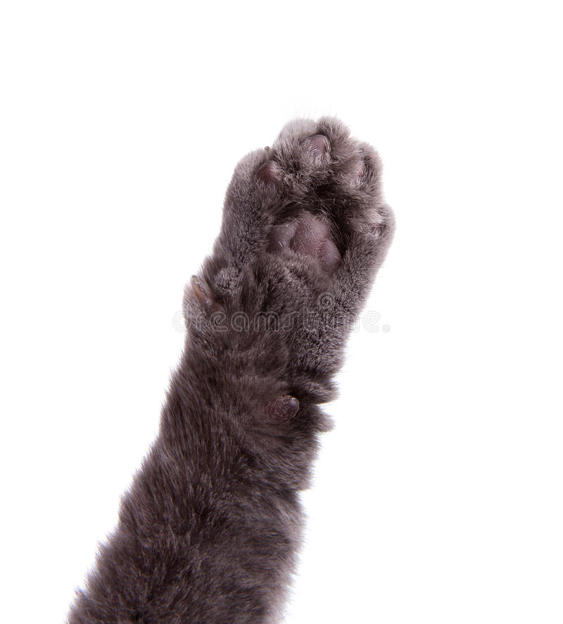 Download Cat's arm raised paw stock image. Image of kitty, white - 31051695