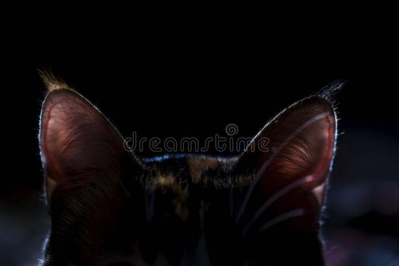 Cat`s ears on a black background, dark concept, close up. Female cat`s ears on a black background, close up, macro. Just pinky ears on a photography, that is royalty free stock photo
