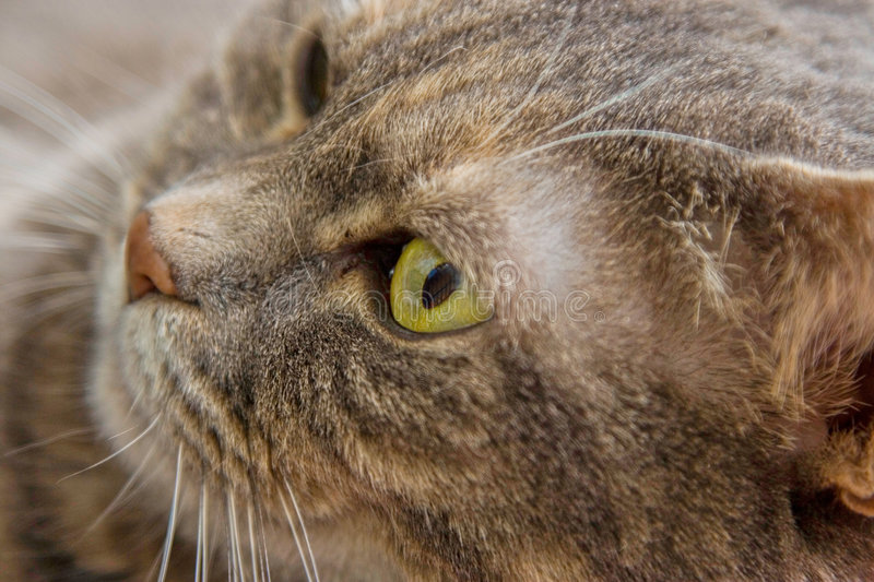 Cat's eye. Close-up of a grey cat's face, exposing her green eye, looking to the left stock images