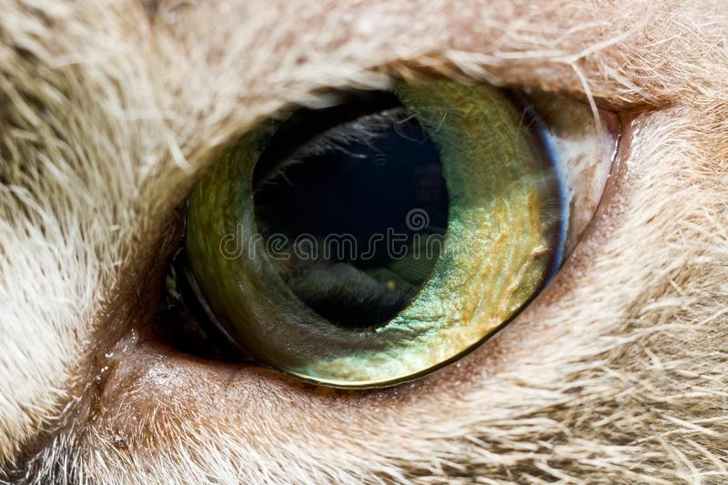 Cat`s eye in macro mode. A front view of one green cat`s eye framed by gray fur was taken in macro mode royalty free stock photo