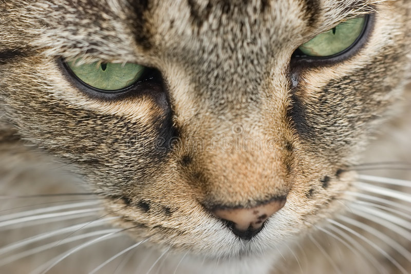 Cat's face. Close of cat's face with green eyes and limited depth of field. Focus os on cat's right eye stock images