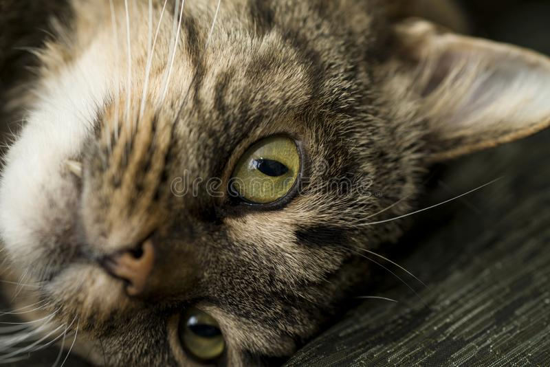 Cat`s face close-up. Cat with open eyes lying on the pillow. Selective focus royalty free stock photo