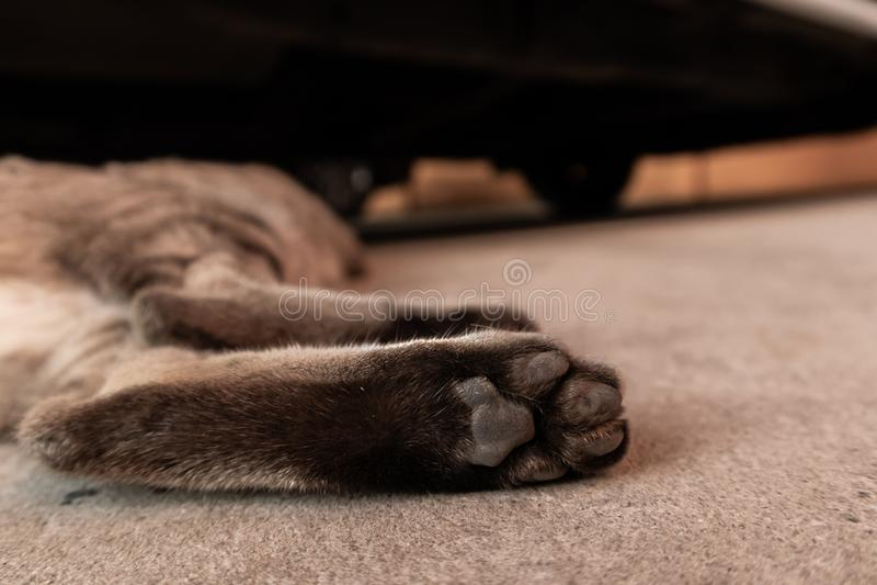 Cat`s feet. Close up feet ginger cat sleeping royalty free stock image