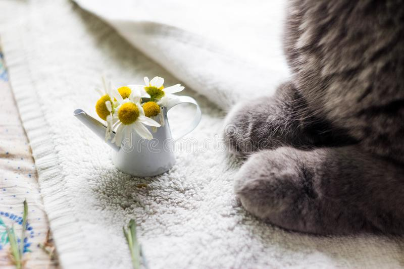 Cat`s feet and daisies in a toy watering can stock image