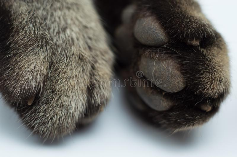Cat`s feet isolated on white background. This beautiful capture cat`s feet at sleeping.natural position in frame. Background images for your design ideas royalty free stock photography