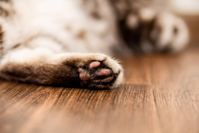 Cat`s foot lying on the floor royalty free stock photo