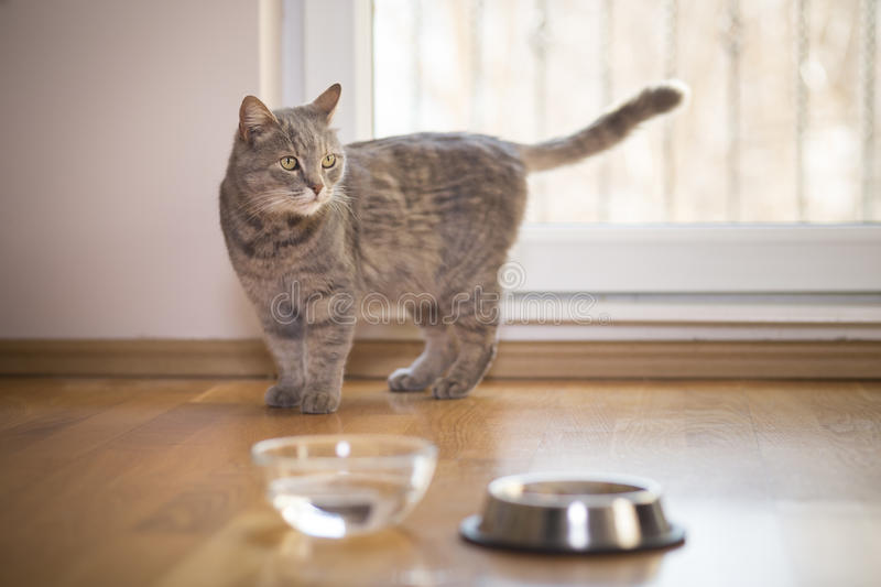 Cat`s kingdom. Beautiful tabby cat standing next to a bowl of water, placed on the floor next to the living room window. Selective focus royalty free stock photo