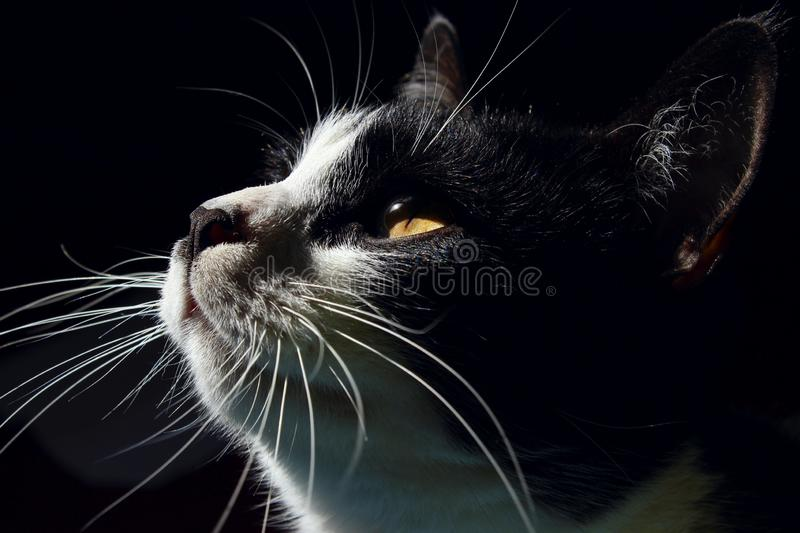 Cat`s Muzzle Close Up. Cat Looking Up, Close Up. Black Cat. royalty free stock photo