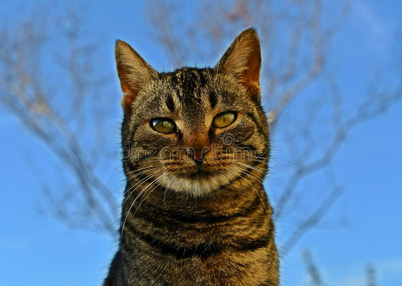 Cat`s muzzle tabby cat cat head looking big cat`s eyes. Cute muzzle tabby cat closeup with blue background royalty free stock photo