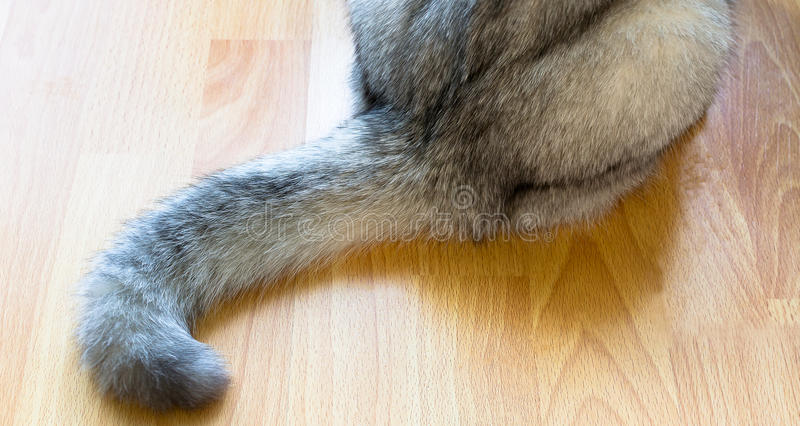 Cat's tail of British short hair - grey and white color sitting stock image
