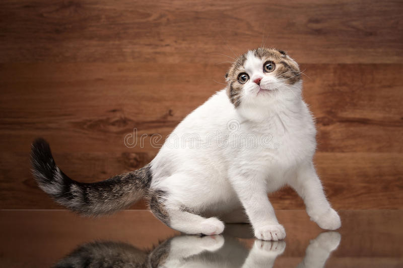 Cat. Scottish fold kitten on mirror and wooden texture. Scottish fold kitten on mirror and wooden texture royalty free stock image
