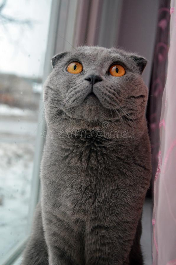 Cat Scottish Fold sits on the window and poses in front of the camera royalty free stock image