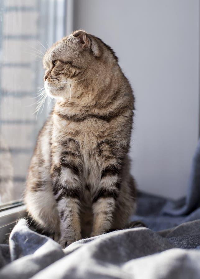 Cat Scottish Fold sitter på en fönsterfönsterbräda vid fönstret och ser hänsynsfullt till och med ett klart exponeringsglas in i  arkivfoton