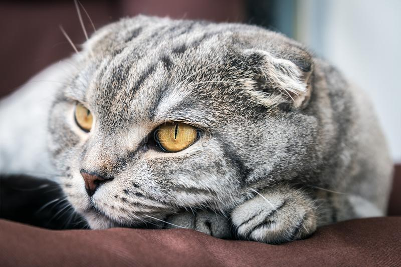 Cat Scottish fold trimmed without stock photo