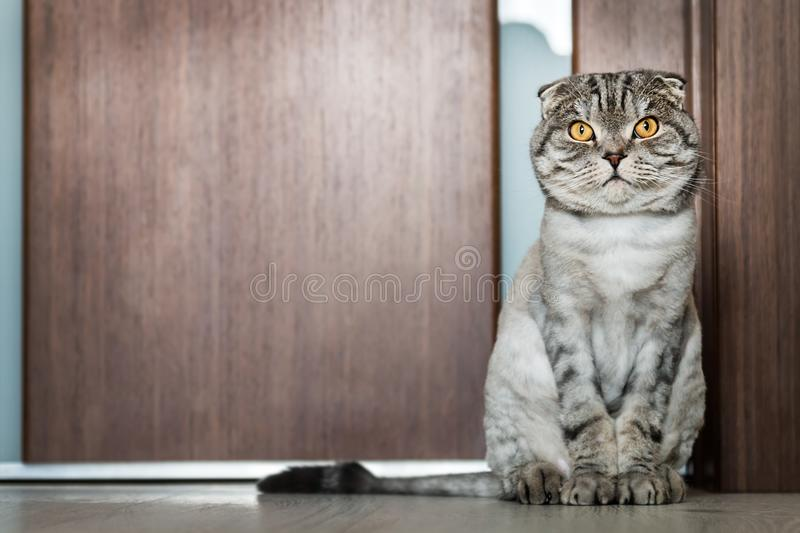 Cat Scottish fold trimmed without for sites stock image